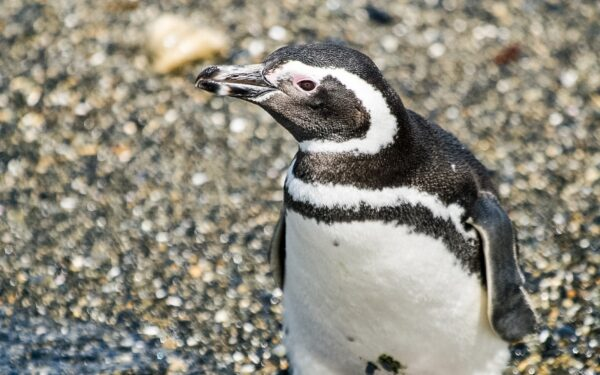pinguiono-600x375
